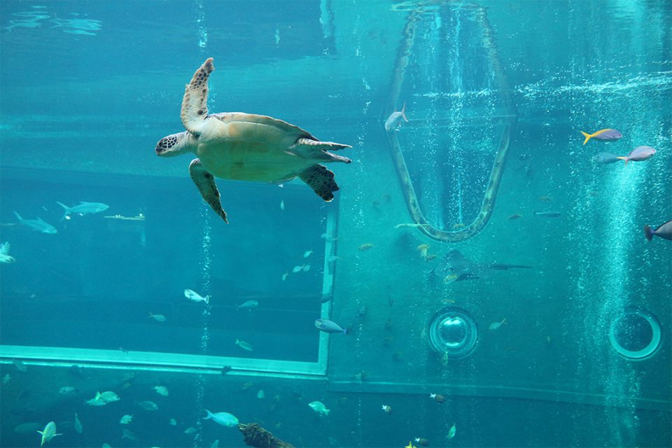箱根園水族館のウミガメ