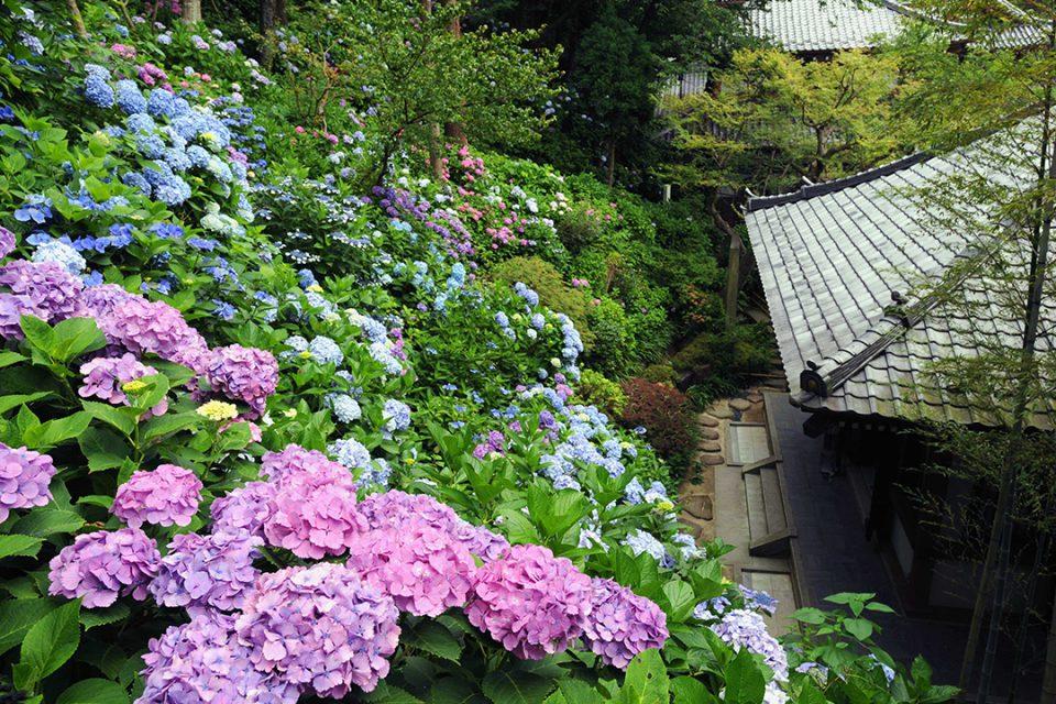 長谷寺のアジサイ