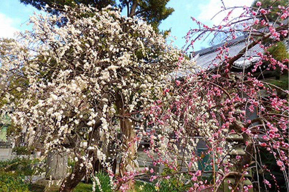 花をたずねて鎌倉歩きの様子6