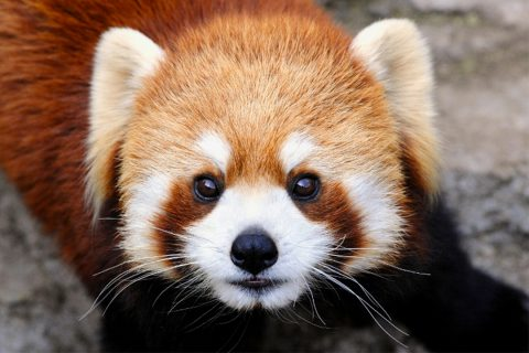 野毛山動物園のレッサーパンダ