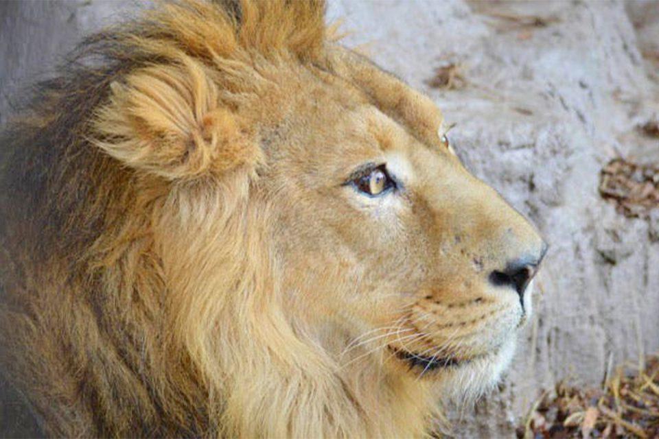 野毛山動物園のライオン