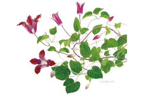 玉村豊男さんの作品赤い花のクレマチス