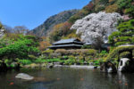 吉池旅館の山月園桜舞う時期