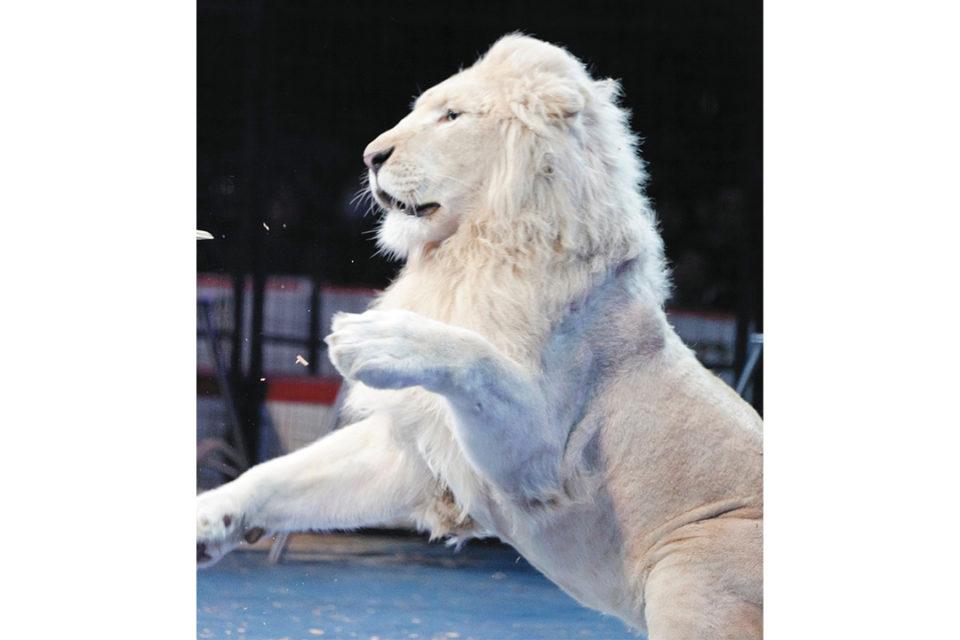 木下大サーカスのホワイトライオン